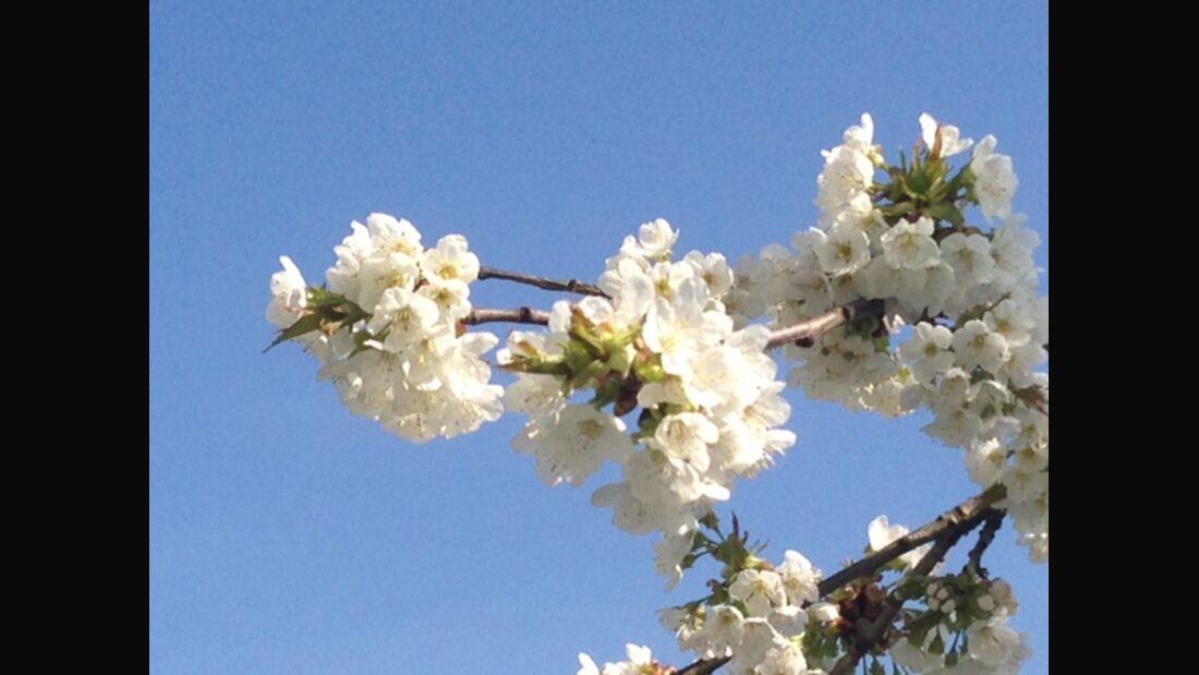 AL-Illu-Blütenblühen - Kirschblüte