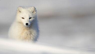 Arctic Fox - Fjällräven