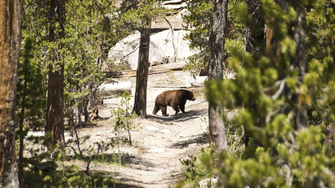 Bär im Yosemite Nationalpark, USA