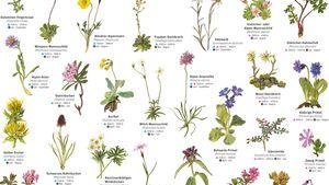 KL DAV-Plakat seltene Alpen-Blumen & Alpen-Pflanzen teasdr