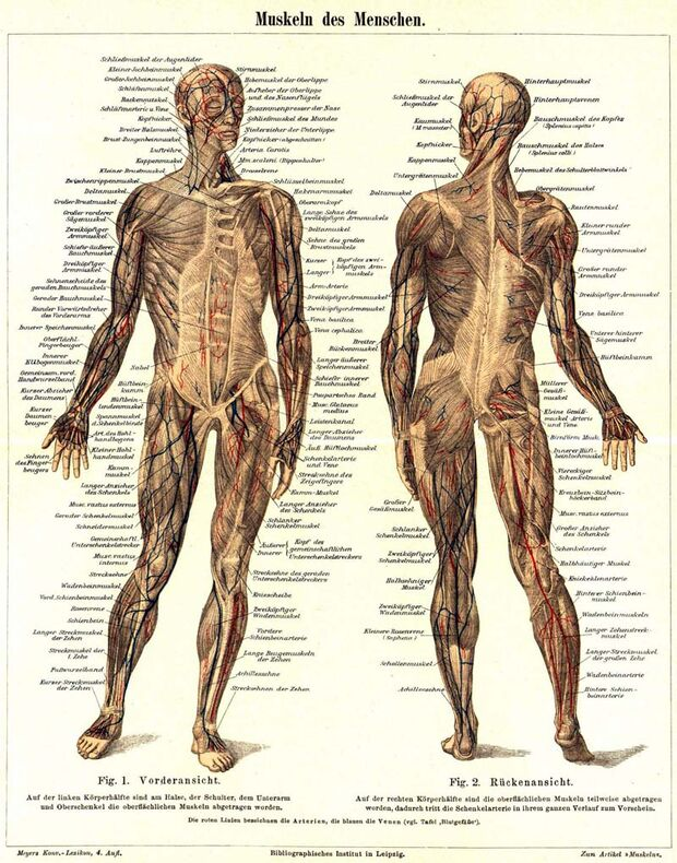 KL Muskulatur des Menschen