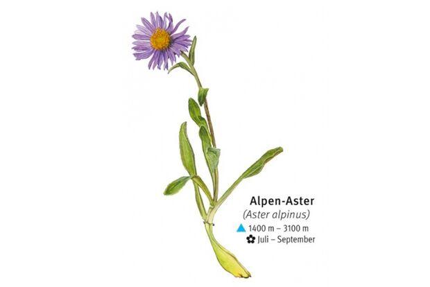 KL-seltene-Pflanzen-Alpen-DAV-Info-Alpen-Aster (jpg)