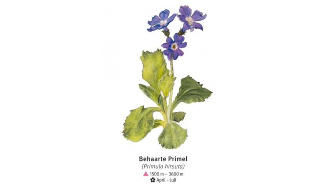KL-seltene-Pflanzen-Alpen-DAV-Info-Behaarte-Primel (jpg)
