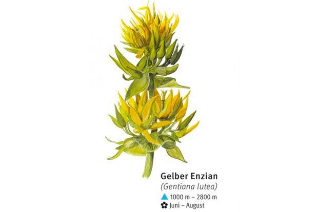 KL-seltene-Pflanzen-Alpen-DAV-Info-Gelber-Enzian (jpg)