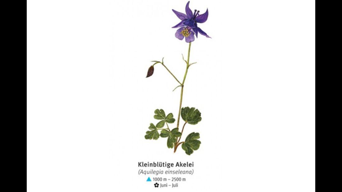 KL-seltene-Pflanzen-Alpen-DAV-Info-Kleinbluetige-Akelei (jpg)