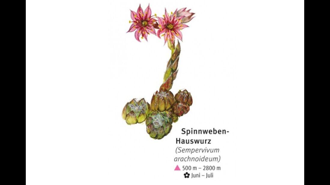 KL-seltene-Pflanzen-Alpen-DAV-Info-Spinnweben-Hauswurz (jpg)