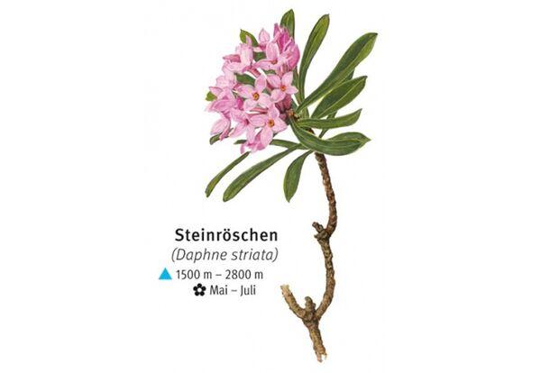 KL-seltene-Pflanzen-Alpen-DAV-Info-Steinroeschen (jpg)