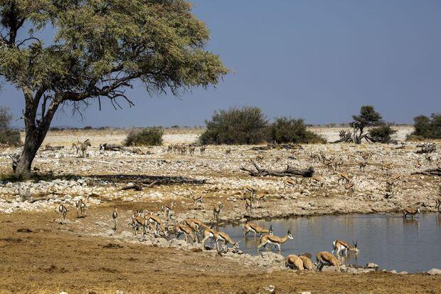 OD 0212 Namibia Afrika Springbock Antilope Wasserloch Wüste Tiere Natur Wildnis