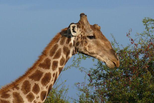 OD 0411 afrika nationalparks giraffe