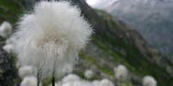 OD 0414 Schweiz Frühling Wollgras Blumen Pflanzen Commons