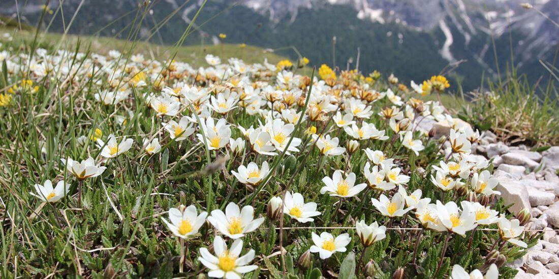 OD 0414 Südtirol Sextener Dolomiten Frühling Weiße Silberwurz Blumen Pflanzen Commons