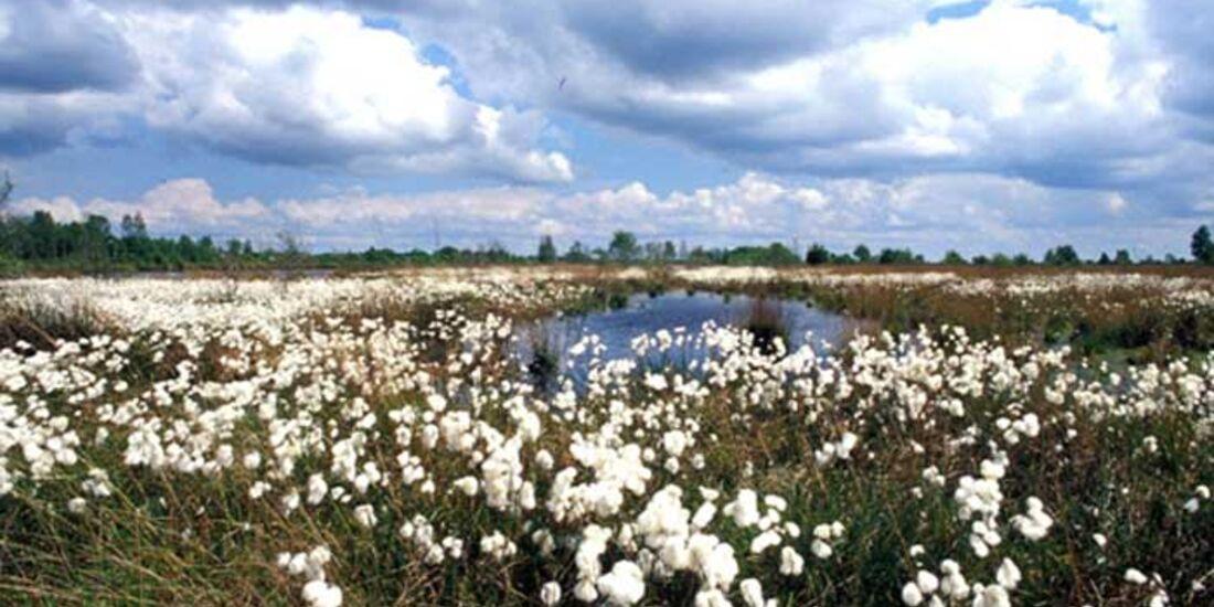 OD 0511 Emsland Moor Wollgrasblüte