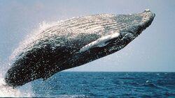 OD 0711 Basislager natur tiere meer buckelwal