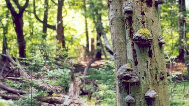 OD 0711 Serrahner Buchenwald Nationalpark Müritz Teaser