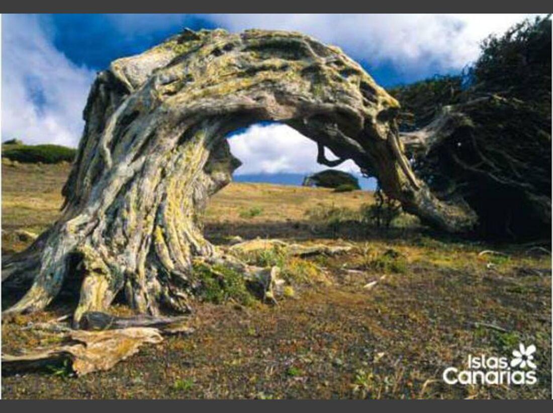 OD 0911 kanaren gagelbaum-eh (jpg)