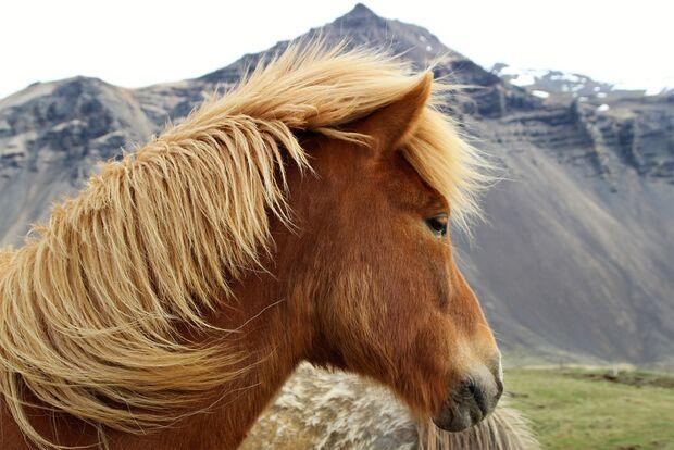 OD 1216 Island Pony