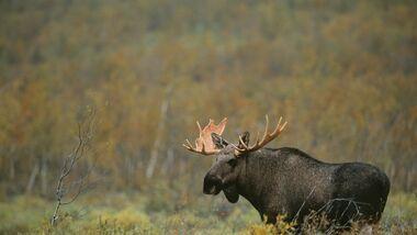 OD-2013-Skandinavien-Schweden-Sarek Elch Moose Natur Fjell