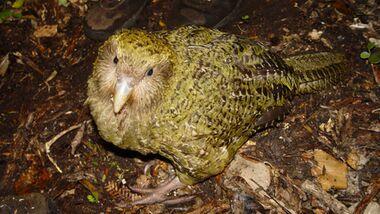 OD 2014 Kakapo Vögel Natur Neuseeland