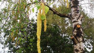 OD-2014-Natur Baum Birke Pollen Heuschnupfen Allergie Frühling Blüte