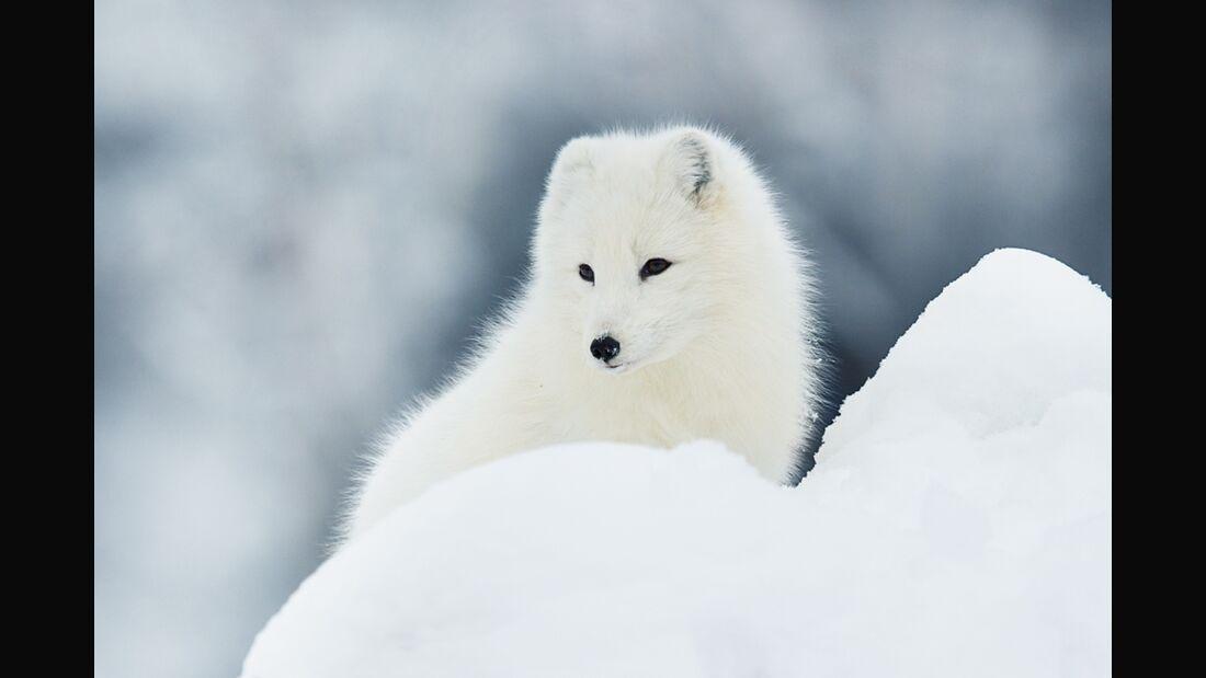 OD 2015 Fjällräven Polarfuchs Aktion Tiere