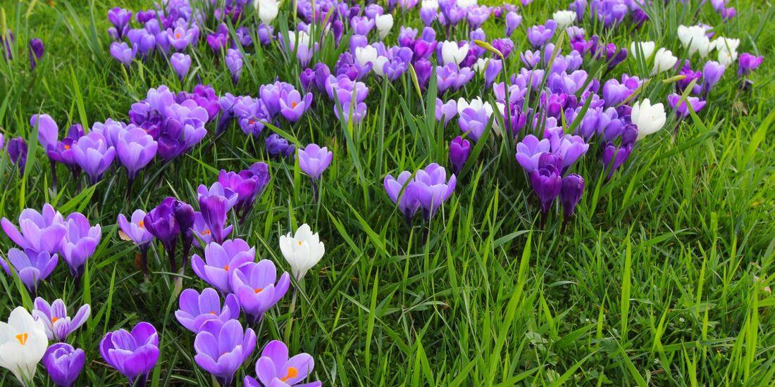 OD 2017 Frühling Krokusblüte Frühjahr Saisonstart