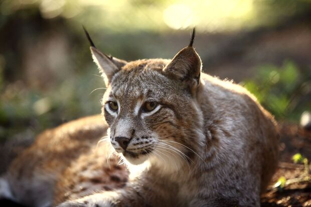 OD 2018 Luchs Natur Wald Tiere