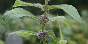 OD 2019 Ackerminze Pflanze Wiki Blüte Heilpflanze Kräuter Flora Fauna Natur