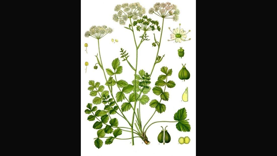 OD 2019 Kleine Bibernelle Pimpinella_saxifraga Pflanze Blume