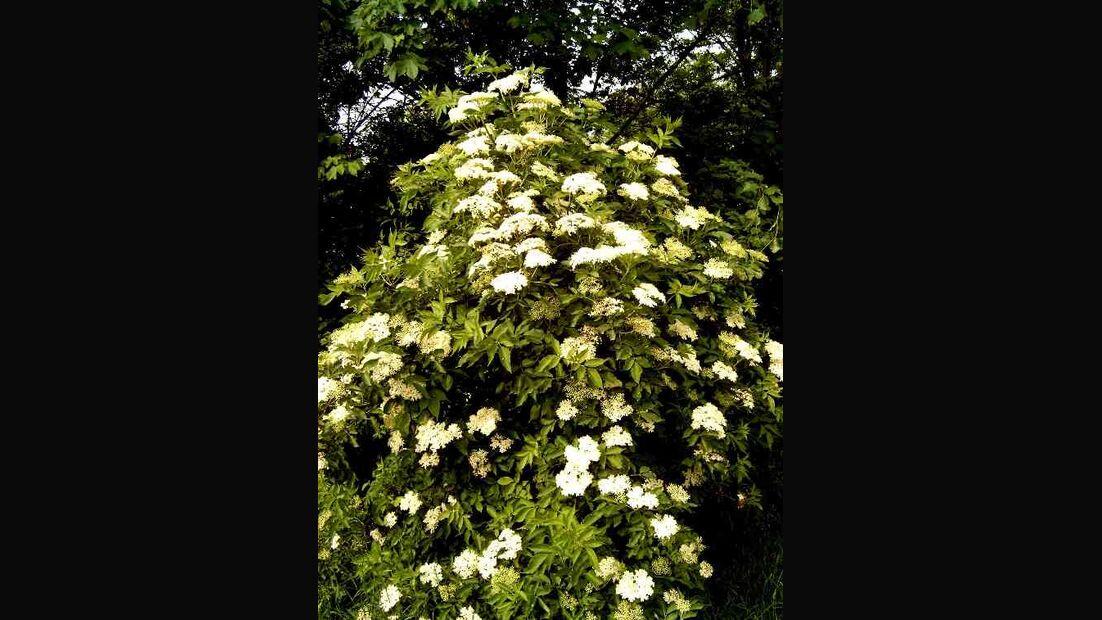 OD 2019 Schwarzer Holunder Baum essbare Pflanze Beeren Essen Blüten Natur