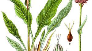 OD 2019 Wiesen-Knöterich essbare Pflanzen Wildkräuter Blume Wurzel Natur