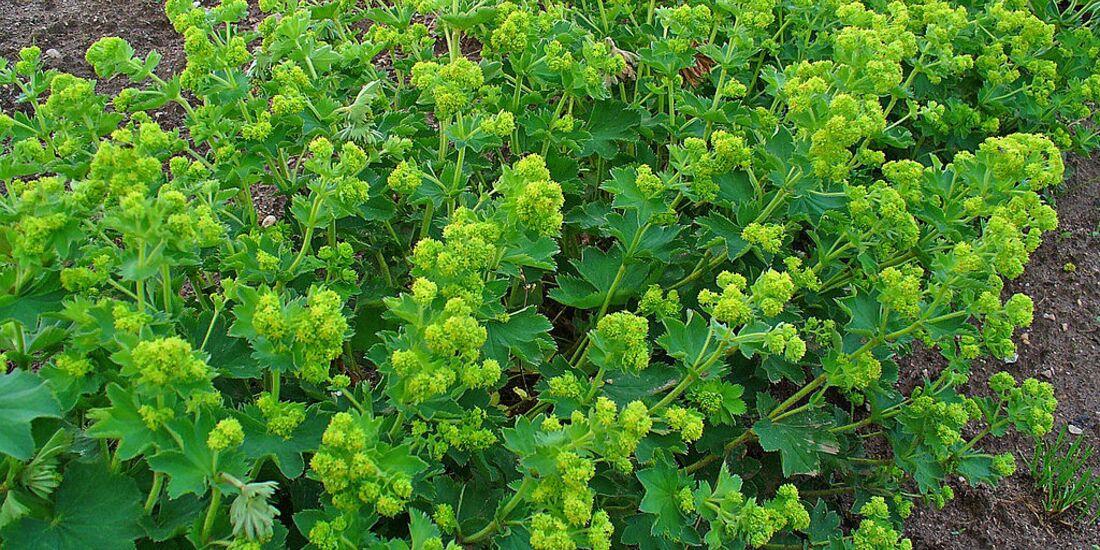 OD 2019 Wikimedia Frauenmantel essbare Pflanze Alchemilla vulgaris