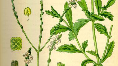 OD 2019 essbare Pflanzen Eisenkraut Heilkräuter Kraut Blume Blüte