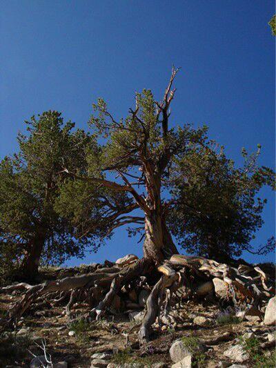 OD-7.17oldtree (jpg)