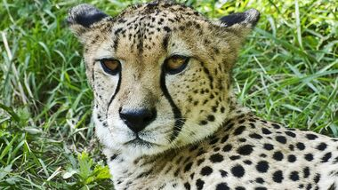 OD Basislager 0111  Gepard Thomas Buttler_pixelio.de (jpg)