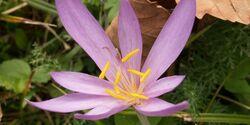 OD Natur Herbstzeitlose Blumen Pflanzen pixelio