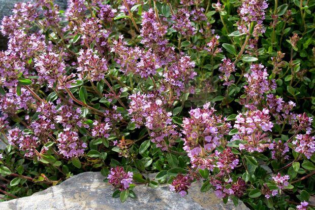 OD Natur Thymian Blumen Pflanzen pixelio
