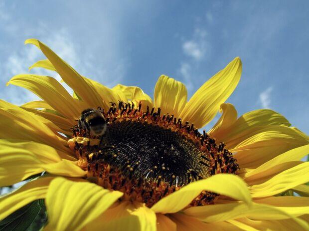 OD Sonnenblume