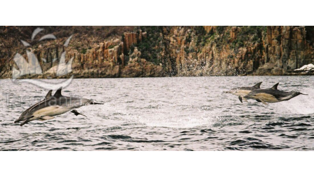 OD Tasmanien Delphine