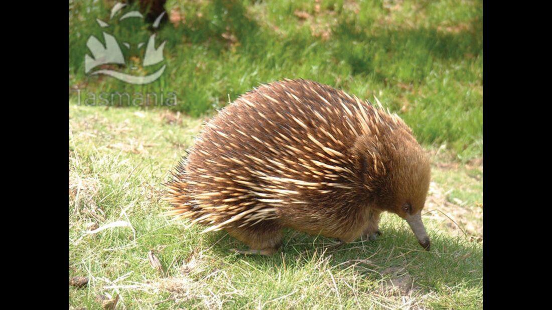 OD Tasmanien Kiwi