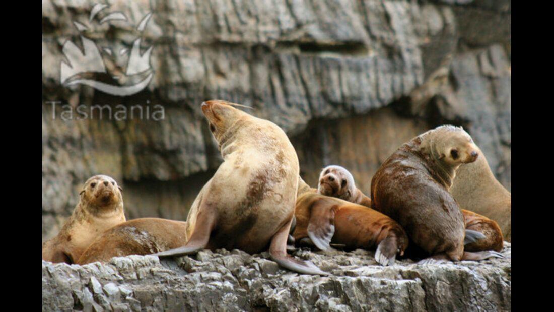 OD Tasmanien Robben