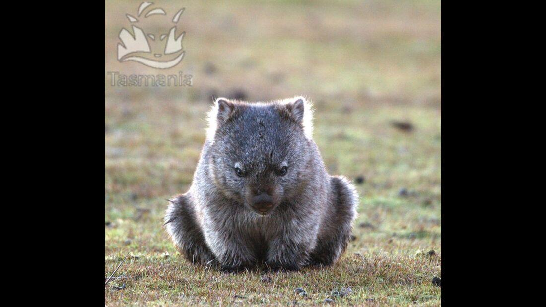 OD Tasmanien Wombat