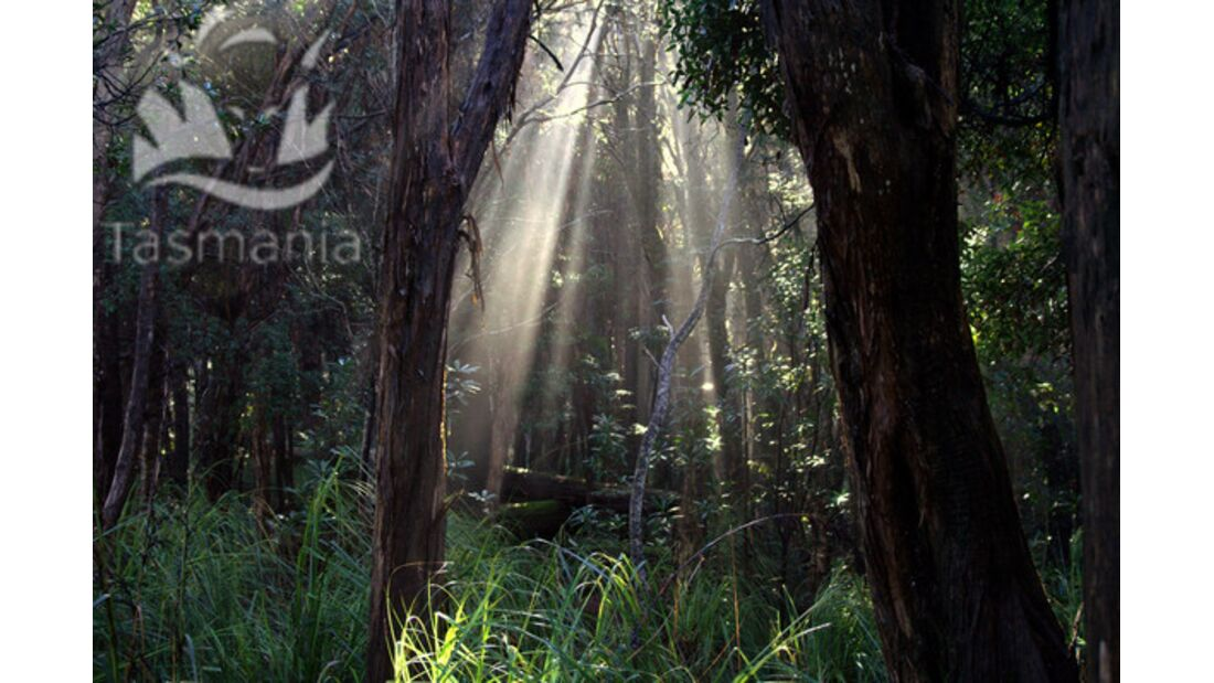 OD Tasmanien lichtdurchfluteter Wald