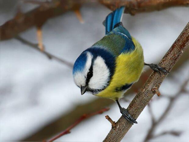 OD Tierwelt Singvögel Vogel Blaumeise