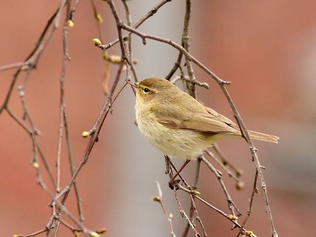 OD Tierwelt Singvögel Vogel Chiffchaff Zilpzalp