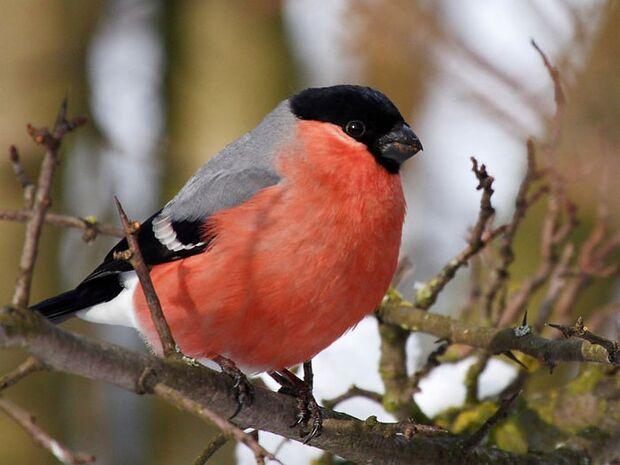 OD Tierwelt Singvögel Vogel Gimpel