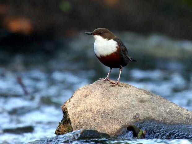 OD Wasseramsel Vogel Vögel Wasser pixelio