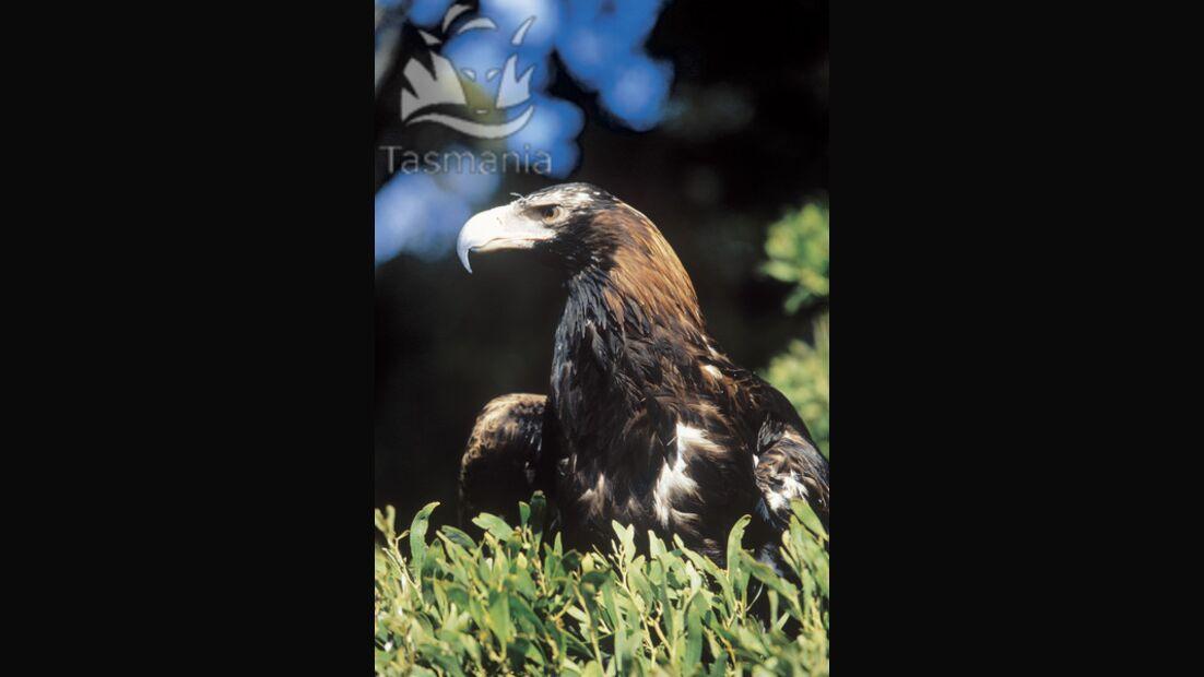 Od Tasmanien Adler