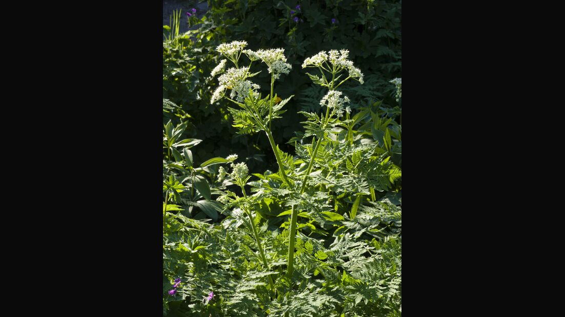 Od-essbare-Pflanzen-Duftende-Suessdolde-Steffen-Hauser-botanikfoto-460042-L.jpg