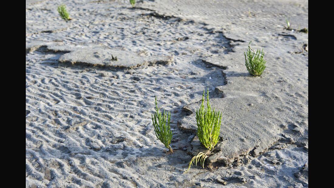 Od-essbare-Pflanzen-Europaeischer-Queller-Marga-Werner-botanikfoto-505112-L.jpg