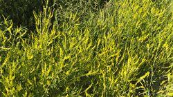 Od-essbare-Pflanzen-Gelber-Steinklee-Steffen-Hauser-botanikfoto-509050-L.jpg